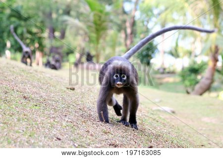 Monkey walk in the gardenDusky langur wildlife animals in Thailand.
