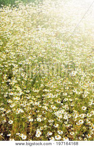 Closeup of freshness daisy flowers field under sunlight. Nice background