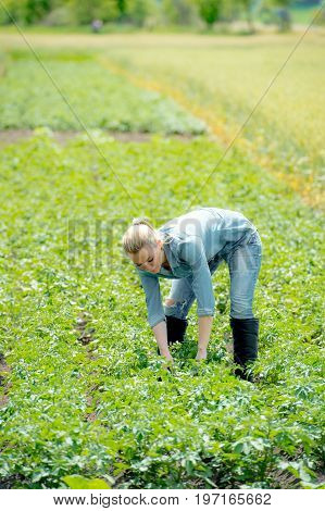 An agronomist woman working on summer potato field