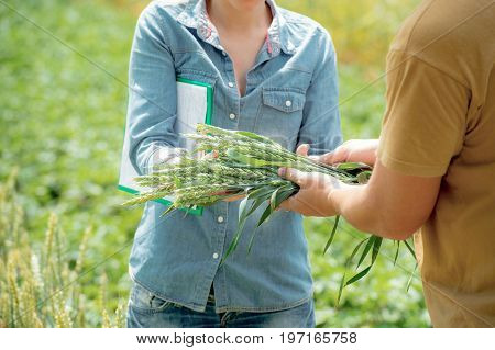 A worker gives sheaf of wheat to agronomist for analysis