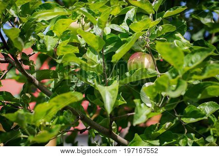Green and red apple grows on apple tree branch with leaves under sunligh. Ripe apples on the tree in nature on a sky background. Fresh and juicy apples on a branch.