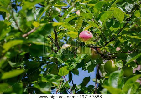 Branch of an apple tree with bright red and green apples on a sky background. A group of sweet, fresh and organic apples grow on apple-tree branch with leaves under sunlight. Summer fruits from garden
