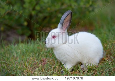 White little rabbit with black ears sits on grass