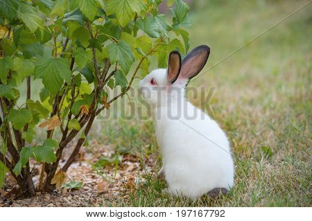 Young little white rabbit checks currant bush with curiosity