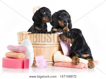 puppy bath time - Dachshund  dog in wooden wash basin