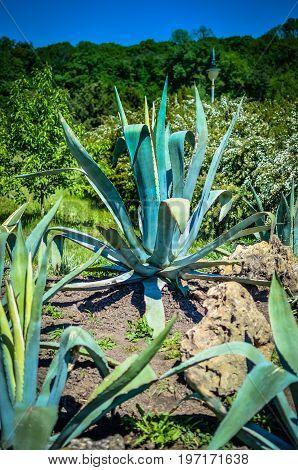 One Big Blue Agave Plant Stone Rock Desert,
