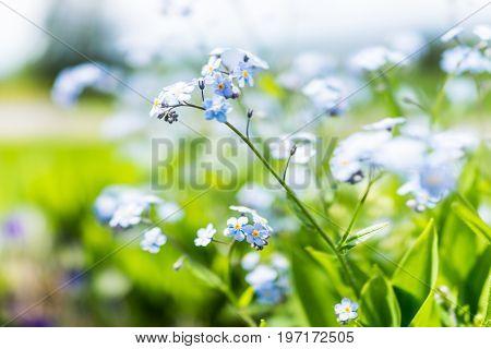 Tiny Blue Forget Me Not Myosotis Flowers Macro Closeup In Summer Garden Field