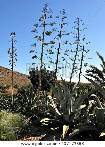 Agave plant flower spikes in the Cabo de Gata Natural Park, Spain