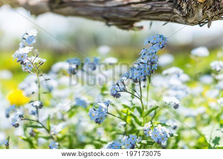 Tiny Blue Forget Me Not Myosotis Flowers Macro Closeup In Summer Garden Field Vineyard