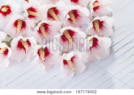 lovely white hibiscus flowers - flowers and plants