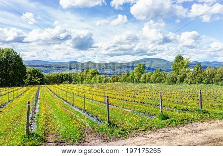 Vineyard Rows During Summer In Ile D'orleans, Quebec, Canada With View Of Saint Lawrence River