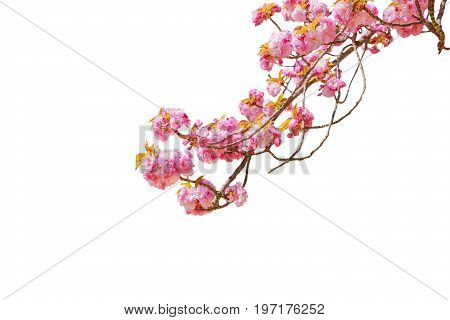 Closeup of cherry blossom in japanese park of Japan. Beautiful pink Sakura flower isolated on white background and copy space. Hanami concept, spring, relaxation.
