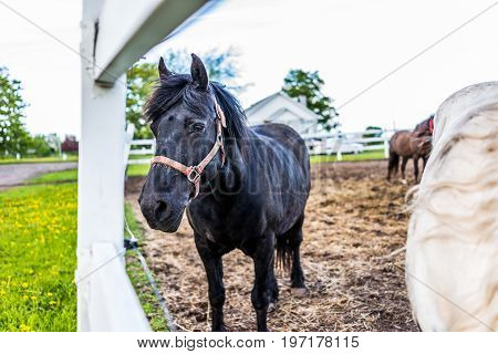 Closeup Of Black Horse By White Fence In Farm Paddock In Brown Soil Landscape