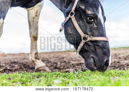 Closeup Of Black And White Horse Face By White Fence In Farm Paddock Grazing On Grass