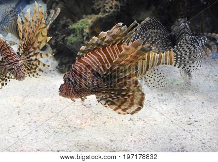 Two firefish swimming on a sandy ocean floor.