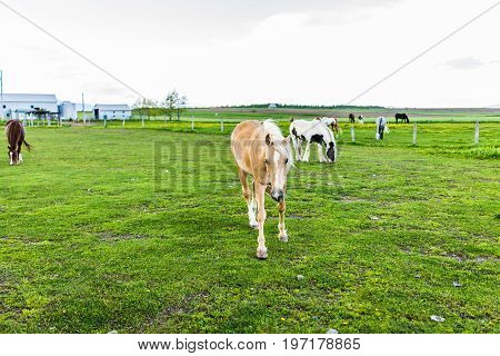 Horses In Stable Farm Paddock Grazing On Green Grass In Landscape
