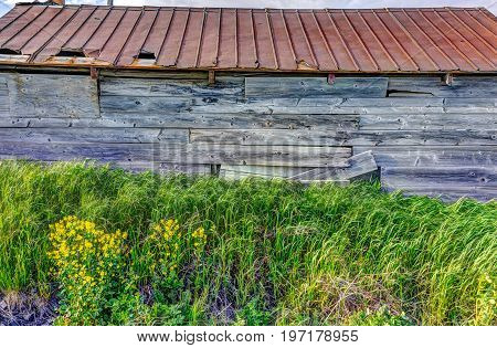 Closeup of old vintage shed with yellow field mustard flowers in summer landscape field in countryside
