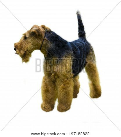 Airedale Terrier dog. Airedale Terrier isolated on white background