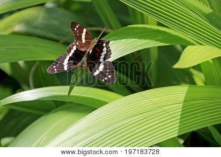 Banded Peacock butterflies mating, anartia fatima, Costa Rica, Central America