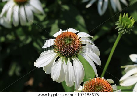Closeup of white Echinacea purpurea. Crop of herbs in summer sunny day on meadow, medicinal plants .