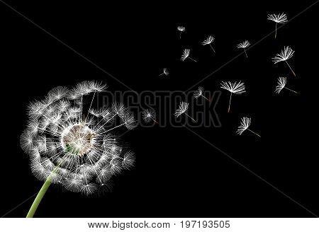 Flower dandelion on a black background, vector art illustration.