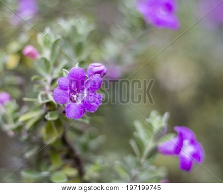 Close up of purple Ash Plant flower (Barometer Brush, Purple Sage or Texas Ranger) with blur background.