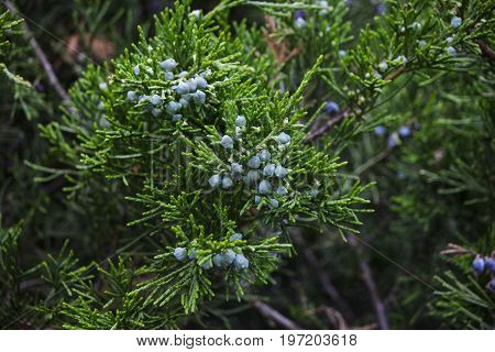 Young blue juniper berries on a branch