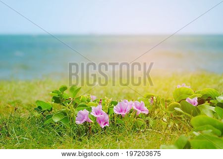 Morning glory blossom on blurred seascape background, Morning glory blossom on the beach
