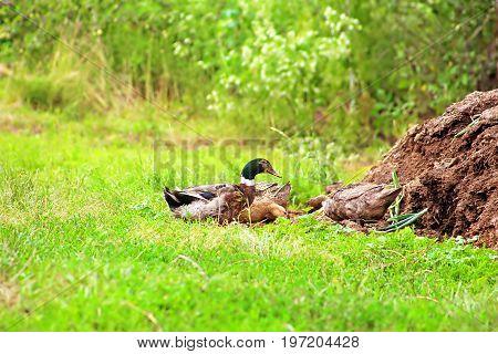 Brownn ducks wail in the village on green grass. Ducks on farm green field. Rural landscape