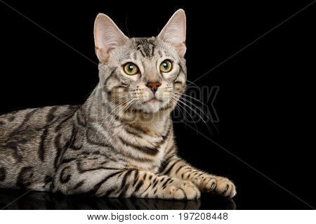 Close-up Bengal Cat, snow Fur with rosette, Lying on isolated on Black Background