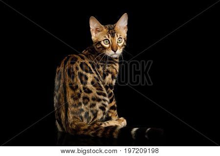 Bengal Kitten, gold Fur with rosette, Sitting and Looking back on isolated on Black Background with reflection