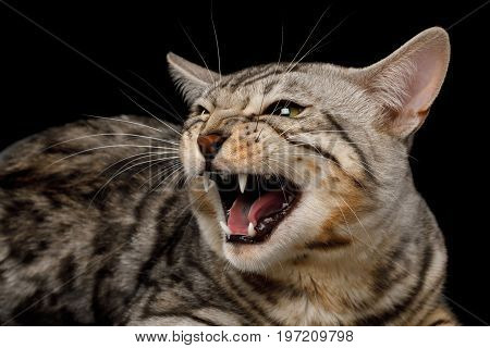 Close-up Meowing Bengal Cat on isolated on Black Background