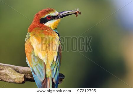 Incredibly beautiful bird with a bee in a beak, wildlife
