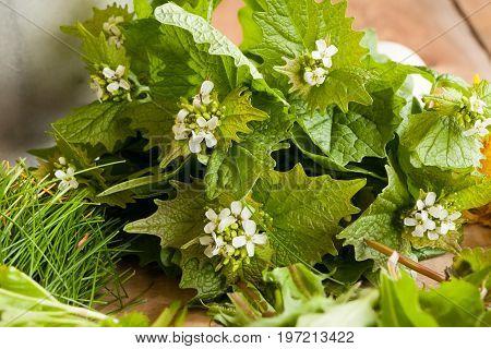 Garlic Mustard (alliaria Petiolata) - Wild Edible Plant