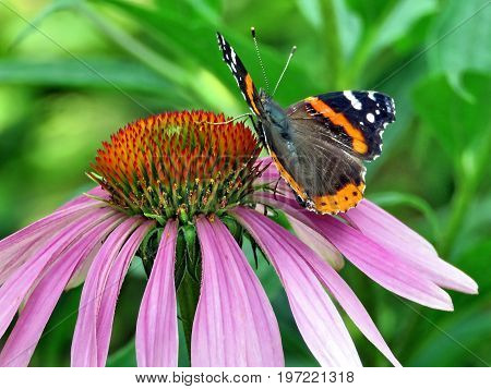 Red Admiral Butterfly on a flower in High Park of Toronto Canada July 21 2017