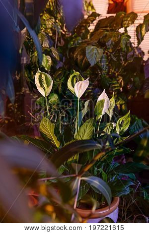 Close Up Of White Flower Spathiphyllum Or Spathiphyllum Spp. Beautiful Flower And Green Leaves In Th