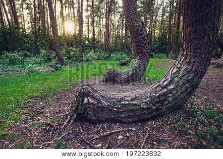 Crooked Forest in Nowe Czarnowo village Poland