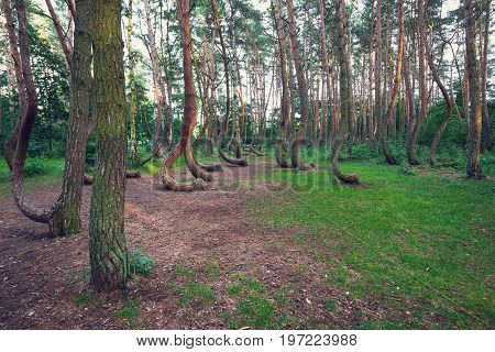 Mysterious pine trees in Crooked Forest in Nowe Czarnowo village of Poland