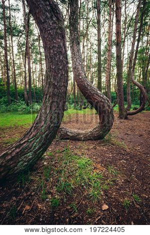 Crooked Forest - famous tourist attraction in Nowe Czarnowo village Poland