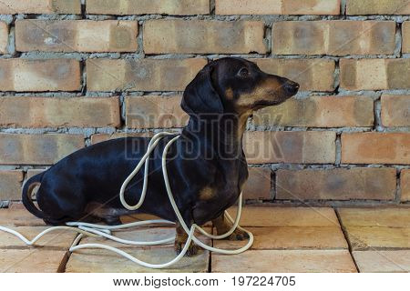 Dog builder dachshund wrapped in white wires at the brick wall background