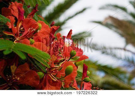 Blooming Flamboyant tree or Royal Poinciana,Delonix regia,Flame tree, Tenerife