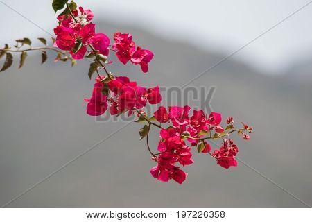 Bougainvillea Spanish pink flower bloom in Spain poster