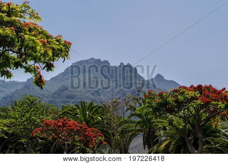 Blooming red Flamboyant tree, mountain in background, Tenerife landscape, Spain