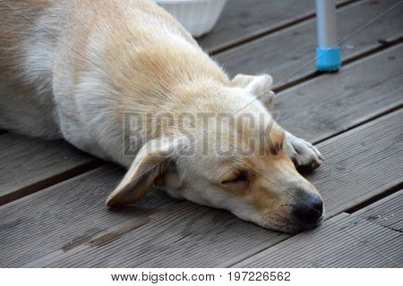 Sleepy white dog lies on the restaurant floor and cools during the hot summer day