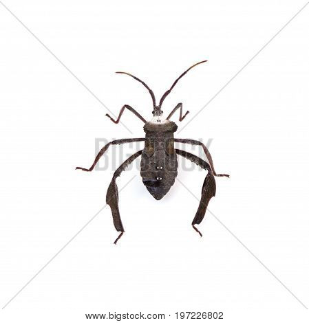 Leaf-footed Bugs (Acanthocephala declivis) cutout on a white background
