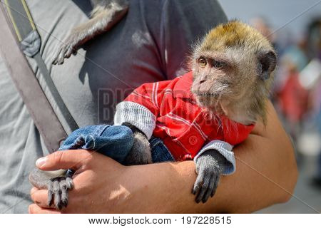 Monkey in clothes sitting on the hands of men. Home wild monkey wearing a man suit. Animals in captivity depend on the person.