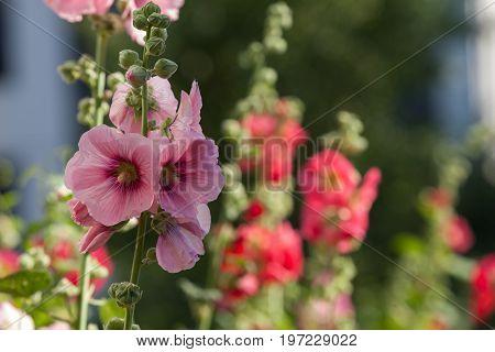 Flowers in the gardenFlowers Holly Hock (Hollyhock) pink