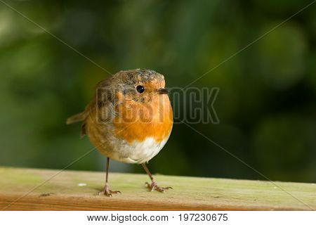 European Robin on fence, facing to its left.