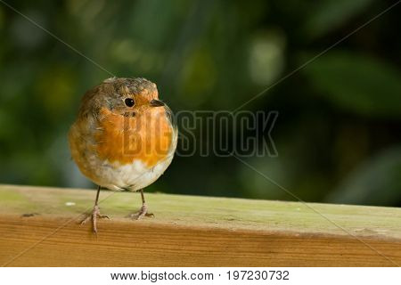 European Robin with space for copy or text