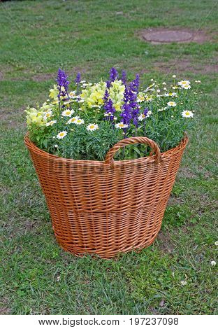 Old wicker basket ful of colorful flowers as a unusual garden decoration. New life for old things